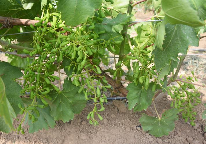 無核藍寶石葡萄
