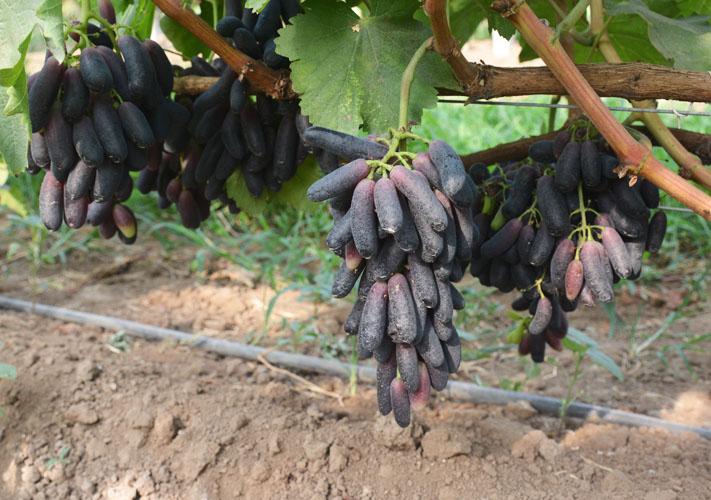 甜蜜藍寶石葡萄