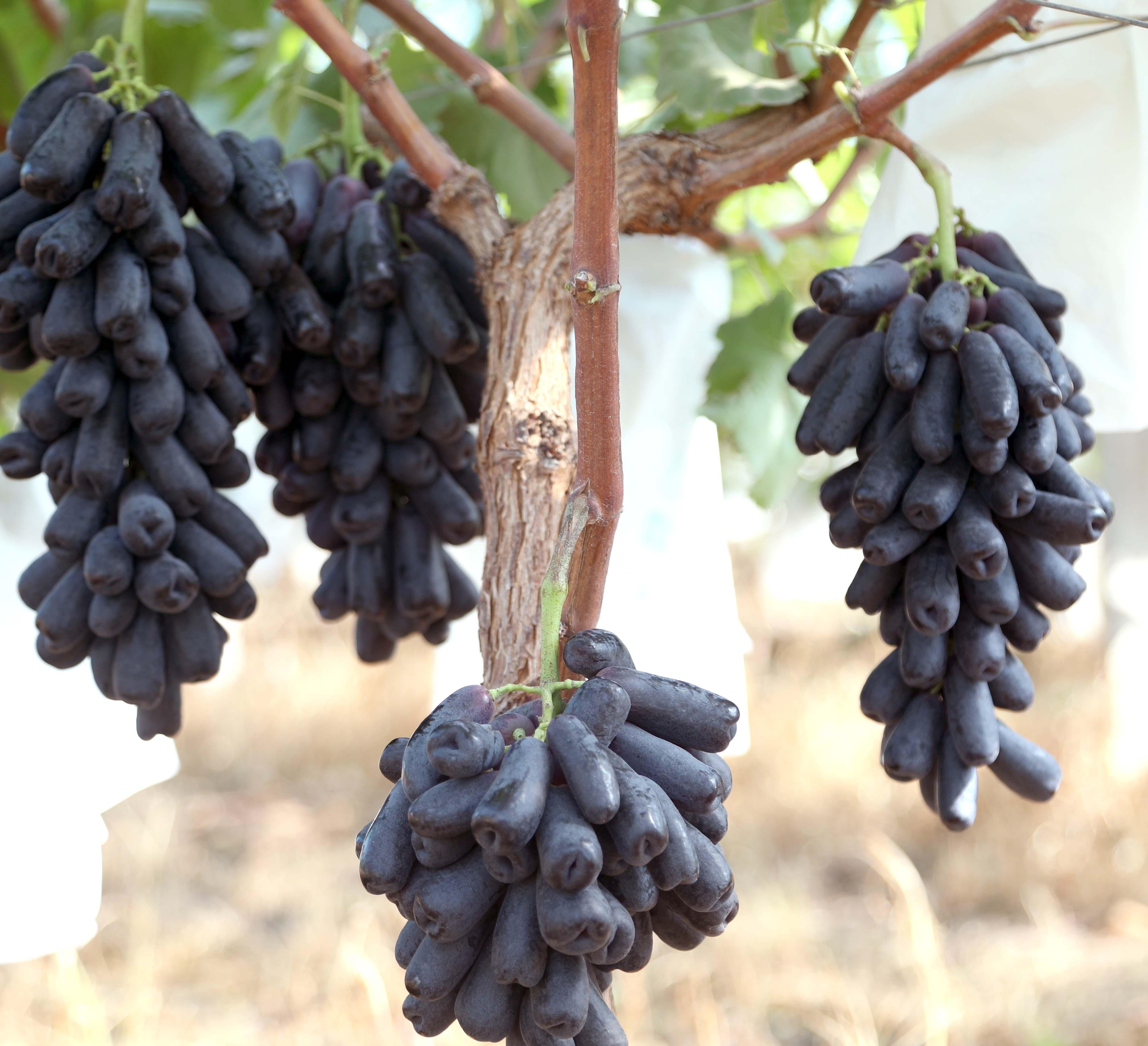 黑藍寶石葡萄