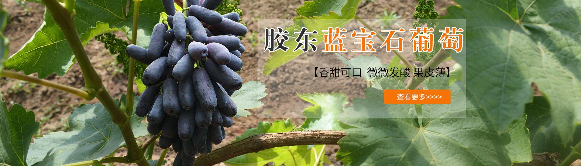 膠東藍寶石葡萄