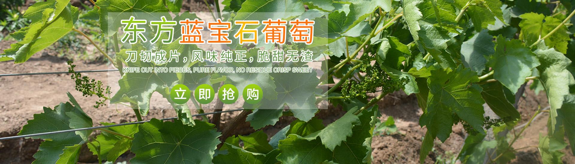 東方藍寶石葡萄